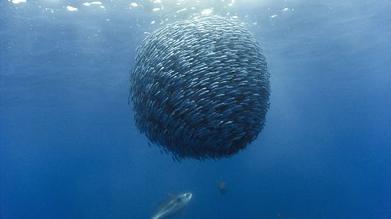 Boule de chinchards   © Galatée: 06 Oceanshorsemackerelbaitball, Fish Ball, Ball Pictures, Mackerel Ball, Horse Mackerel, Mackerel Baitball, Bait Ball, Oceans Horse
