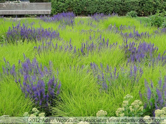 autumn moor grass sesleria autumnalis with salvia potters fields park london garden design by piet oudolf