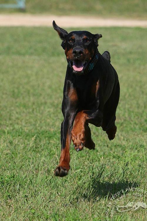 Find Out More On The Alert Dobermans Pups Health Dobermangang