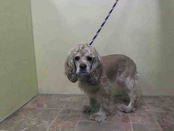 Manhattan Center LADY - A1025772 FEMALE, TAN / WHITE, COCKER SPAN MIX, 5 yrs OWNER SUR - ONHOLDHERE, HOLD FOR ID Reason ALLERGIES Intake condition EXAM REQ Intake Date 01/18/2015, From NY 10463, DueOut Date 01/25/2015 https://www.facebook.com/Urgentdeathrowdogs/photos/pb.152876678058553.-2207520000.1421738860./946717548674458/?type=3&theater