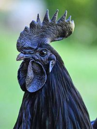 All-Black/ Ayam Cemani Breed