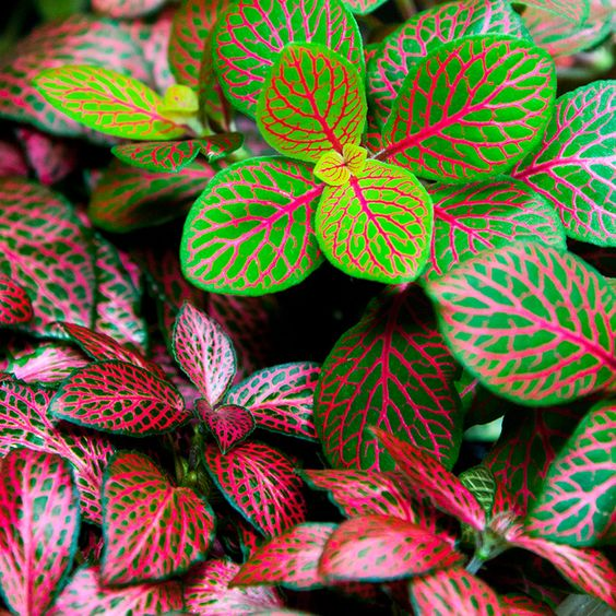 Nerve Plant - 10 Pink Indoor House Plants