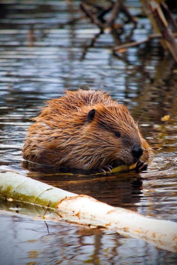 Beaver #beaver #animal
