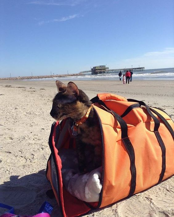 #Kitty went to the beach the other day but she did not enjoy a bit. #sorrynotsorry #cat #catsofinstagram #catstagram #tortoiseshell #tortoise #aspca #beach http://ift.tt/1OpmS4M #fishing #61stpier #pier #pierlife #galveston #TX #Texas #dock #gulfofmexico #fish