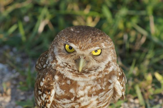 https://flic.kr/p/tFifZq | Burrowwing Owl i got my eye on you 27 | Burrowing Owls