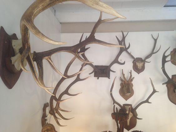 Trophées de chasse, vers 1950