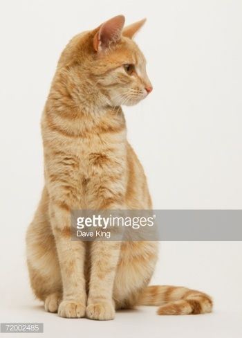 sitting cat front short hair - Google Search