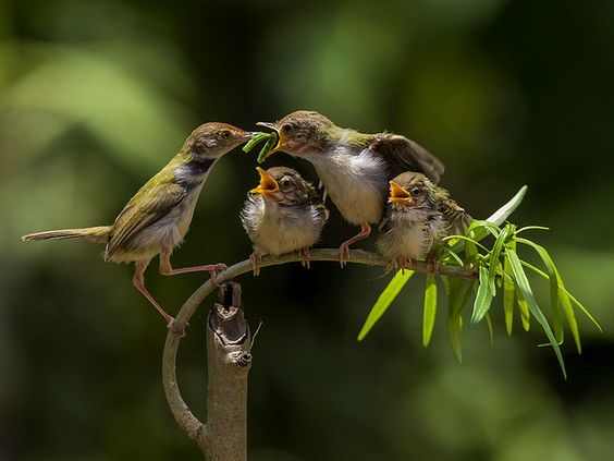 Burung Prenjak - Common Tailorbird - Orthotomus Sutorius, @ Sijanto Nature sweet bird family they mate for life .