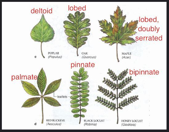 Leaf Types From Gracey4u On Flickr Tree Leaf Identification Leaf Identification Tree Identification Chart