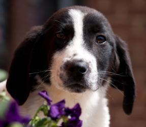 Grumpy is an adoptable Basset Hound Dog in Charlotte, NC