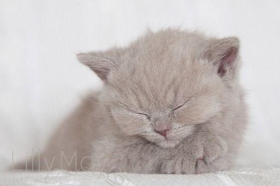 beautfull nature nature animals cats kitties persian cat