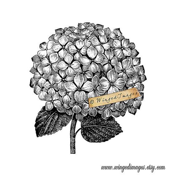 Hydrangea Blossom DESCÁRGALO WingedImages POR Digital de Imágenes