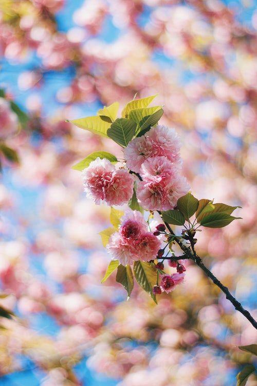 Branch Of Seasonal Cherry Tree Blossom With Blue Sky Background Trevecca Nazarene University Companion Planting Plants Organic Gardening