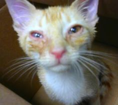 Petango.com – Meet Woodstock, a 2 months 27 days Domestic Shorthair / Mix available for adoption in DECATUR, GA