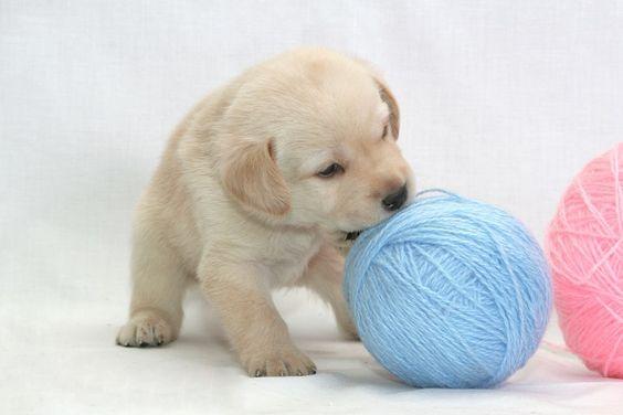 Puppy play yarn balls