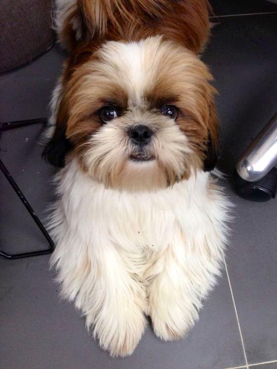 Shih Tzu – Affectionate and Playful | Perros mascotas, Perros ...