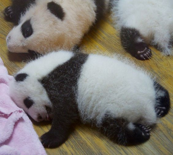 new born pandas