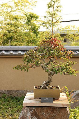 錦木 Nishikigi (Spindle Tree) - 盆栽美術館 - bonsai museum | Flickr: Intercambio de fotos
