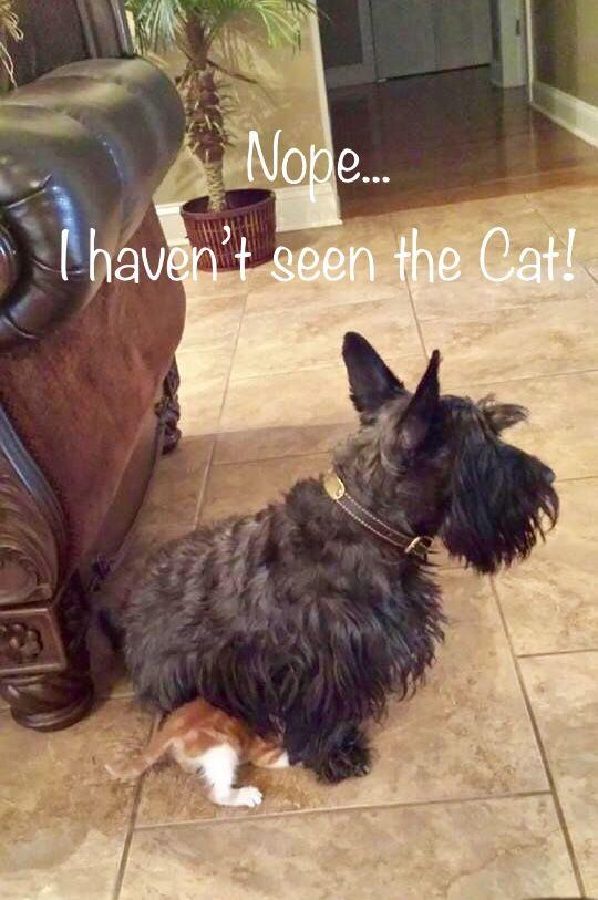 """""""Nope. I haven't seen the cat"""" Scottie"""