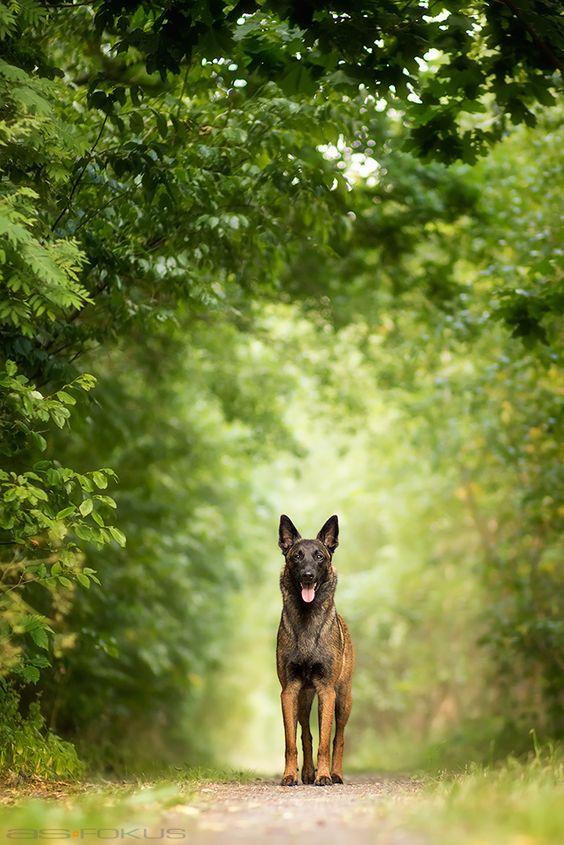 Belgian Malinois - I adore this breed!