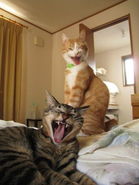 "Synchronized cat yawning, new Olympic sport. Lol. This reminds me of Invasion of the Body Snatchers (original). The ""pod people"" would point, open the mouths very wide and scream when they saw someone who was still human. I never get tired of wat"