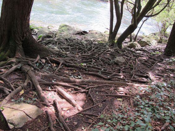 Raíces na beira do río Castro #Costadamorte Cambeiro