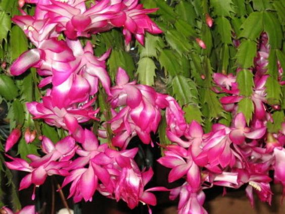 Christmas cactus blooms are triggered by long nights and cool nighttime temperatures.