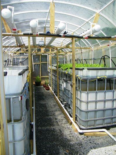 Aquaponic systems supplies organic grown tilapia rainbow for Tilapia aquaponics