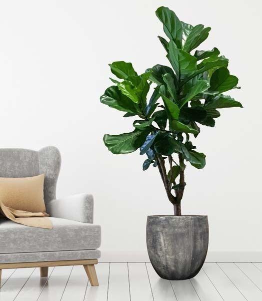 Grote vertakte Ficus Lyrata   Chicplants