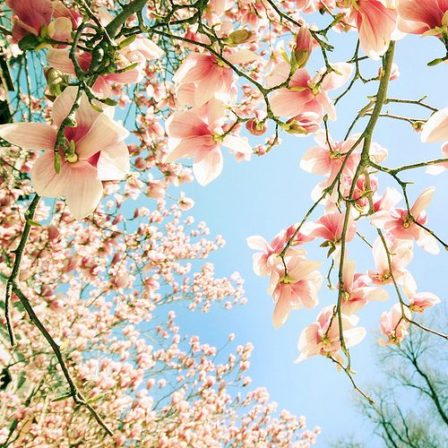 cherry blossoms, always light up my life and bring a smile to my face. Their soft aroma on the spring breeze is my idea of heaven.