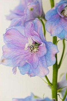 delphiniums -- gorgeous colors!