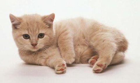 قطط للبيع في أبو ظبي قطط Munchkin متاحة للبيع كلهم على الموهبة القصيرة الديدان والمرح للغاية مع الأط Orange Tabby Cats Tabby Kitten British Shorthair Cats