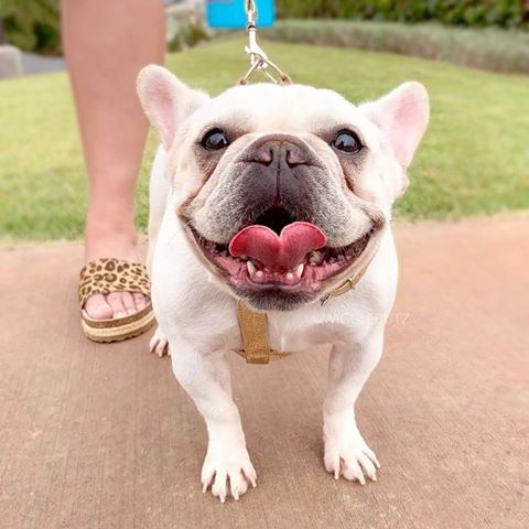 Champion Sired Cream French Bulldog Dream Frenchie Out For A Walk Wigglebutz Com In 2020 French Bulldog Puppies French Bulldog Bulldog