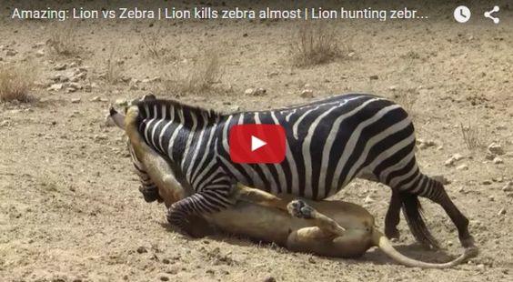 Amazing-Lion-vs-Invincible-Zebra-Fight-for-Life