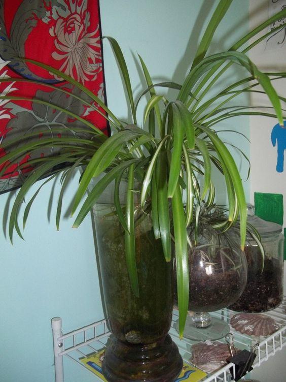 My spiderplant