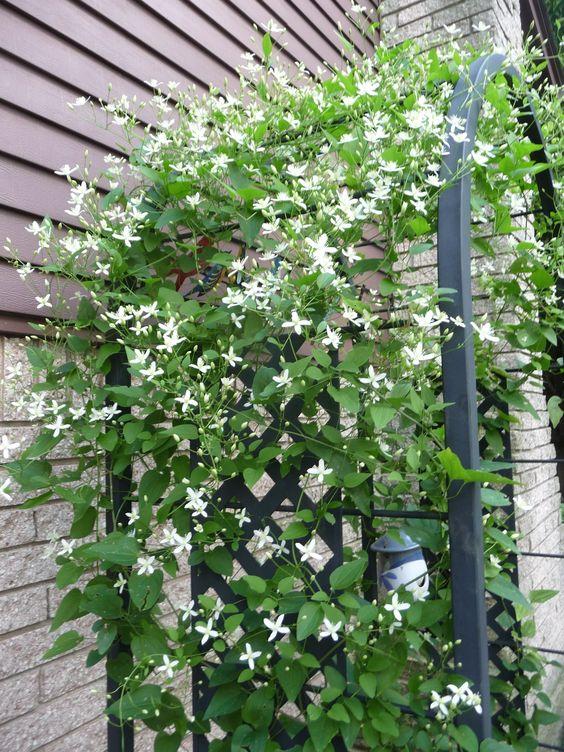 Pinterest the world s catalog of ideas - Climbing plants that produce fragrant flowers ...