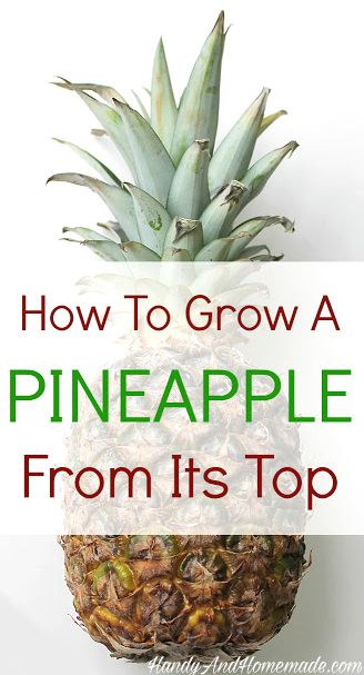 Homemade to grow and tops on pinterest for How to plant a pineapple top in a pot