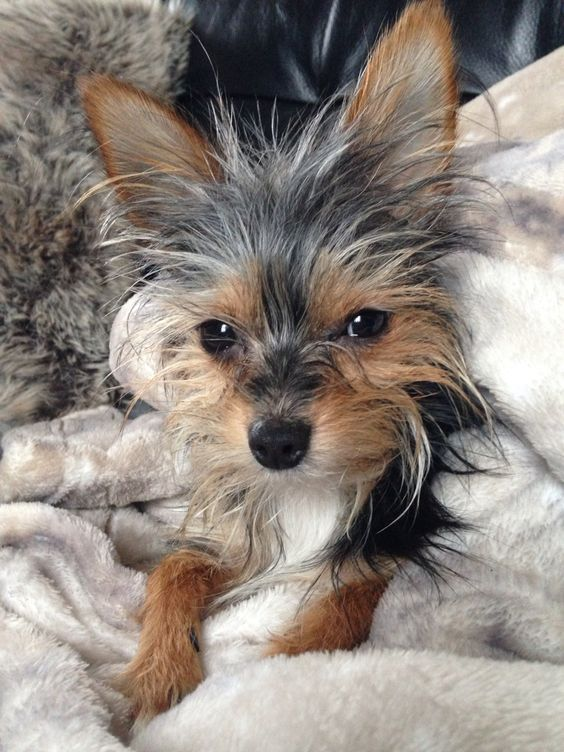 The Chorkie A Complete Guide Yorkie Chihuahua Mix Cute Small Dogs Cutest Small Dog Breeds