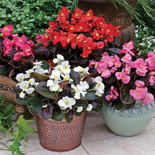 Begonia Seeds 20 Begonias Annual Flower Seeds In 2020 Annual Flowers Flower Pots Begonia
