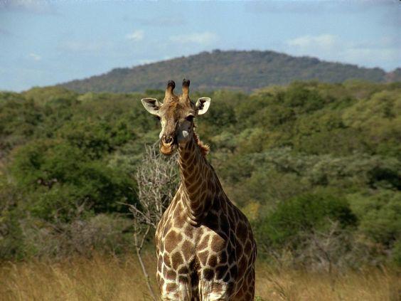 safari pictures | girafa-safari | Minhas Imagens