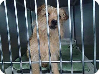 kill shelter - Tallahassee, FL - Yorkie, Yorkshire Terrier/Norfolk Terrier Mix. Meet TOTO, a dog for adoption. http://www.adoptapet.com/pet/11449964-tallahassee-florida-yorkie-yorkshire-terrier-mix