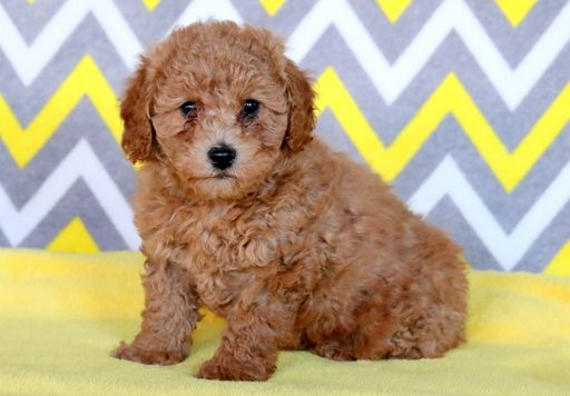 Poodle Toy Puppy For Sale In Mount Joy Pa Adn 60131 On