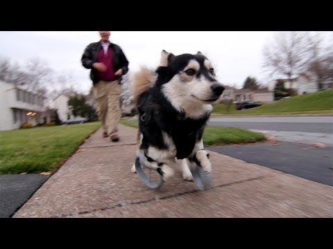 Disabled Dog Experiences First Run With 3d Printed Legs Video
