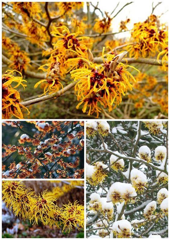Гамамелис - особое растение, которое способно цвести в то время, когда другие спят под плотным слоем снега. Желтые и оранжевые цветы всегда хорошо заметны в условиях зимнего пейзажа. У нас выращивают три вида гамамелиса - вирджинский, японский и мягкий. #Matla_Flowers #интересно_знать