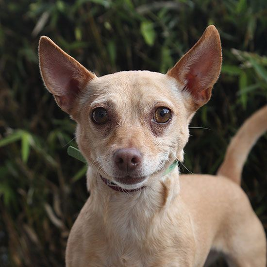 A042820 My Name Is Neveah I Am A Female Tan And White Chihuahua