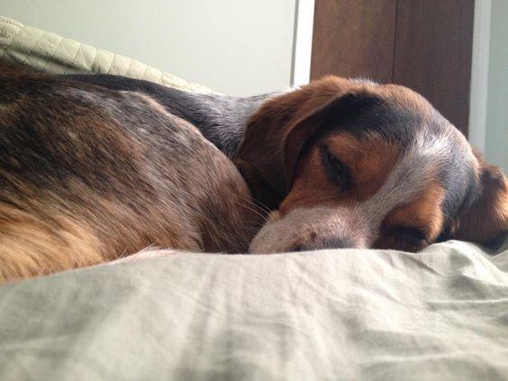 Sleepy beagle