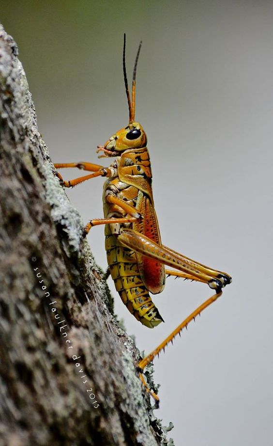 An Eastern Lubber Grasshopper Big Brightly Colored And Bold The Largest Grasshopper In The Usa Its Bright Color Unique Animals Colorful Animals Big Animals