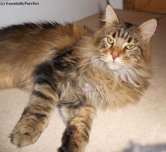 Eloise, a gorgeous #MaineCoon #cat customer in #Blackburn #Lancashire following her #mobile #catgrooming session. Lovely lady !