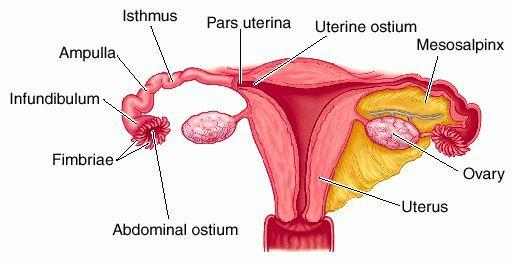 Parts of fallopian tube anatomy