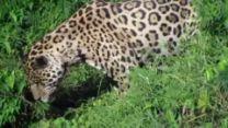Jaguar Dives into River to Catch Alligator | Jukin Media - Yahoo Screen